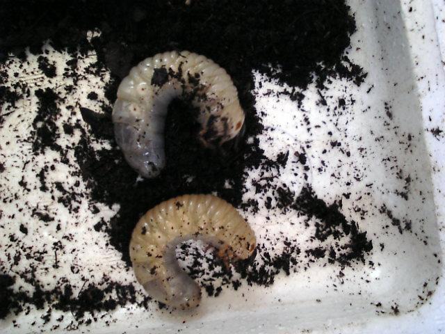 オオカブト 幼虫 コーカサス